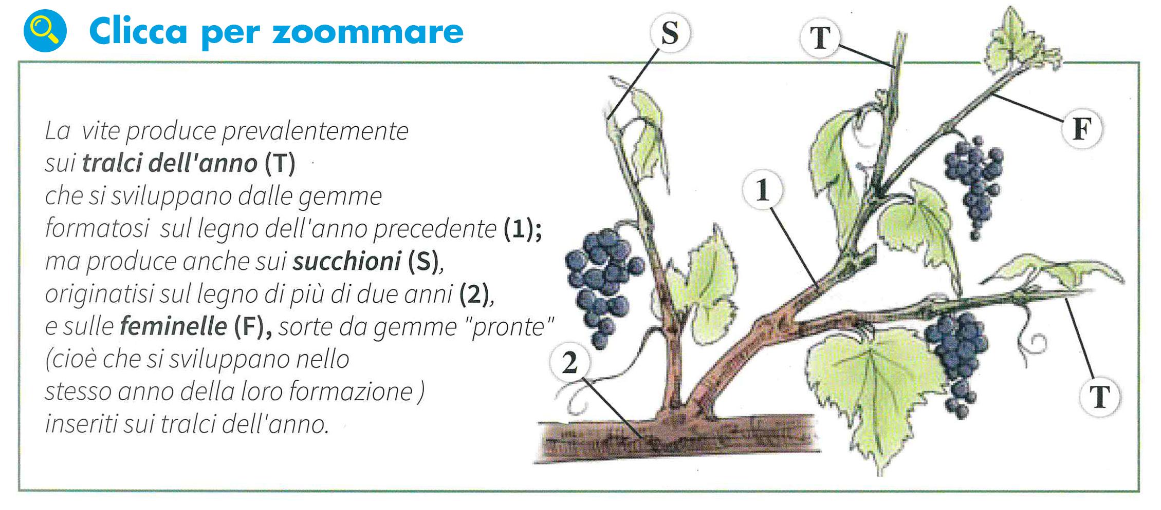I princ pi operativi nella potatura agrimag - Potatura uva da tavola ...